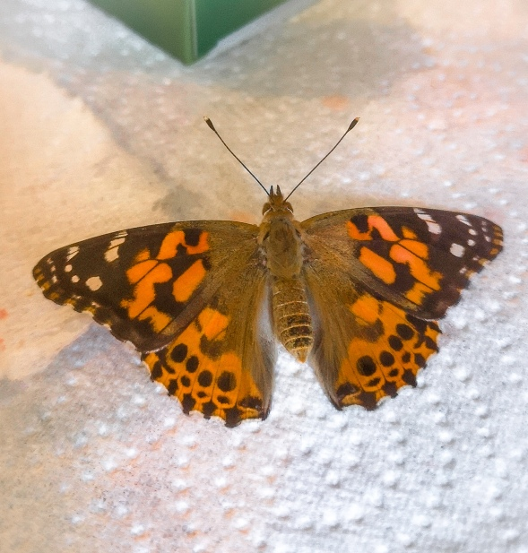 painted lady wingspan